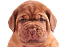 A portrait of 1 month old puppy Royalty Free Stock Photography