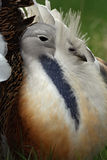 Portrait. Of great bustard Royalty Free Stock Image