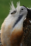 Portrait. Of a great bustard Stock Photos