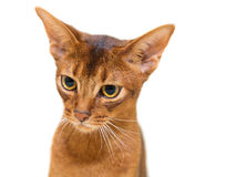 Portrait Abyssinian cat Royalty Free Stock Photo