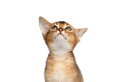 Portrait of Abyssinian Kitty on Isolated White Background. Portrait of Abyssinian Kitty, Stare up on Isolated White Background Stock Photos