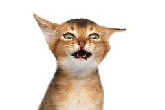 Portrait of Abyssinian Kitty on Isolated White Background Royalty Free Stock Photography