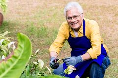 Portrait of active Asian elderly man smiling while pruning green. Plants cultivated in the garden royalty free stock images