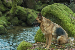 Portrait of active German Shepherd dog in forest Royalty Free Stock Image