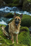 Portrait of active German Shepherd dog in forest Royalty Free Stock Photos