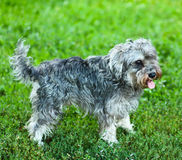 Portrait of active mini schnauzer. In nature royalty free stock images