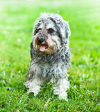 Portrait of active mini schnauzer. In nature royalty free stock photos