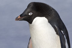 Portrait of Adelie penguin with through narrowed Stock Images