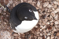 Portrait of Adelie penguin sitting in the nest Stock Photo