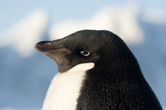 Portrait of Adelie penguins. Portrait of Adelie penguins on a blue sky and snow Royalty Free Stock Photos