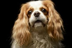 Portrait of an adorable American Cocker Spaniel. Studio shot, isolated on black Royalty Free Stock Images