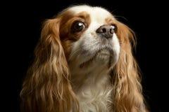 Portrait of an adorable American Cocker Spaniel. Studio shot, isolated on black Stock Photos