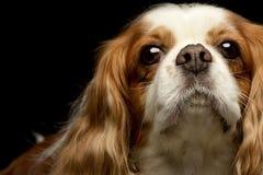 Portrait of an adorable American Cocker Spaniel Stock Photography