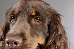 Portrait of an adorable American Cocker Spaniel. Studio shot, isolated on grey Stock Image