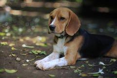Portrait of an adorable beagle dog outdoor. Portrait of an adorable beagle dog outdoor in fall Royalty Free Stock Photos