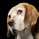 Portrait of an adorable Beagle Royalty Free Stock Photos