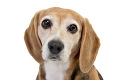 Portrait of an adorable Beagle Royalty Free Stock Image