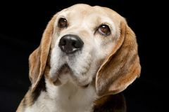 Portrait of an adorable Beagle Stock Photos