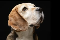 Portrait of an adorable Beagle Royalty Free Stock Photography
