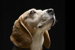 Portrait of an adorable Beagle Royalty Free Stock Images