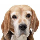 Portrait of an adorable Beagle Stock Images