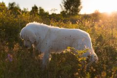 Portrait of adorable Big white fluffy dog breed maremmano abruzzese shepherd standing in the field at sunset. Portrait of adorable maremma sheepdog at sunset stock photos