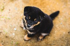 Portrait of adorable black and tan shiba inu puppy sitting outside on the ground and looking to the camera.  stock image