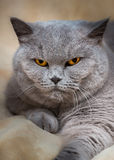 Portrait of adorable british cat Stock Photos