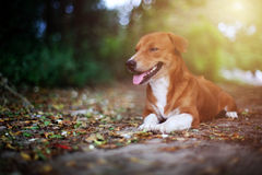 Portrait of an adorable brown dog. Portrait of an adorable brown dog  while lying down on the ground in fall Royalty Free Stock Photos