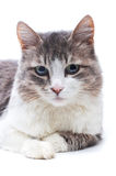 Portrait of adorable cat. Close-up portrait of cat on white Royalty Free Stock Photo