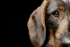 Portrait of an adorable Dachshund stock photography