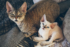 Portrait of adorable Devon Rex cat mother with her small baby kitten are laying down on the bed together. Cats feeling relaxed and comfortable, looking at Royalty Free Stock Images