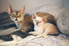 Portrait of adorable Devon Rex cats - mother and her small one month old kitten. Сats are laying down on the bed together. Cats feeling relaxed and comfortable Stock Images