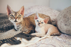Portrait of adorable Devon Rex cats - mother and her small one month old kitten. Cats are laying down on the bed together. Cats feeling relaxed and comfortable Royalty Free Stock Images
