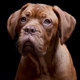 Portrait of an adorable Dogue de Bordeaux Stock Image