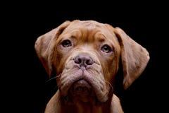 Portrait of an adorable Dogue de Bordeaux Royalty Free Stock Image