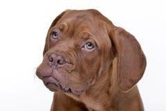 Portrait of an adorable Dogue de Bordeaux Royalty Free Stock Photography