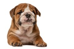 Cute puppy of English Bulldog isolated on white background royalty free stock images