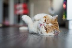 Portrait of Adorable Exotic shorthair cat. Portrait of Cute Brown Exotic shorthair cat relax on gray wooden floor with copy space for text. Adorable animal or Royalty Free Stock Photos