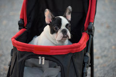 Portrait of Adorable French Bulldog on stroller royalty free stock images