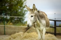 Portrait of an adorable furry grey donkey stock images