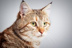 Portrait of adorable grey tabby cat with green eyes Royalty Free Stock Photos