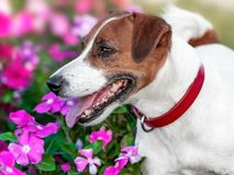 Portrait of adorable happy smiling small white and brown dog jack russel terrier standing in flower bed and looking at left side a. T summer sunny day. Dog has royalty free stock photo