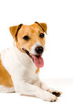 Portrait of an adorable jack russell terrier. Isolated on a white background stock photo