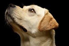 Portrait of an adorable Labrador retriever stock photos