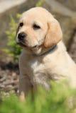 Portrait of adorable labrador retriever puppy Stock Photos