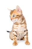 Portrait of an adorable little kitten bengal breed Stock Image