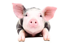Portrait of the adorable little pig. Isolated on white background royalty free stock photography