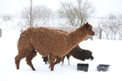 Adorable llama in winter Royalty Free Stock Images