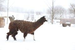 Adorable llama in winter Royalty Free Stock Photos